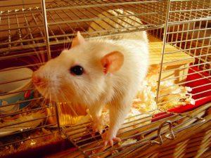 rat-1624443